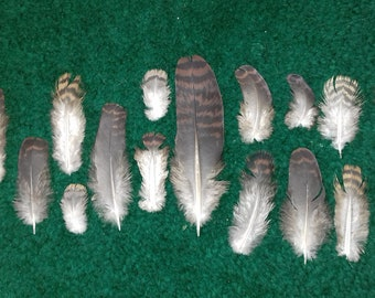 Barred cuckoo-dove (Macropygia unchall) naturally molted feathers.  Cruelty Free