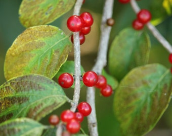 Red Berries Photography Print Botanical Photography Berry Photography Nature Photography Fine Art Photography Red and Green Art
