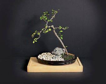 "Lavender Starflower pre bonsai tree ""Fall'17 ""Heavenly Bloom""collection from LiveBonsaiTree.com"