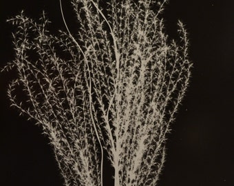 Eulalia : Fall Grasses Silver Gelatin Print 11 x 14 in 16 x 20 window matte