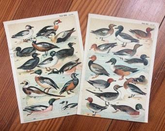 1904 set of 2 duck prints original antique ornithology print color lithograph - ducks mallard waterbirds