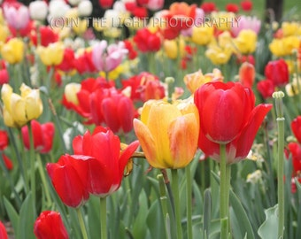 CLEARANCE Field of Tulips - 5x7 fine art photo - matted to 8x10