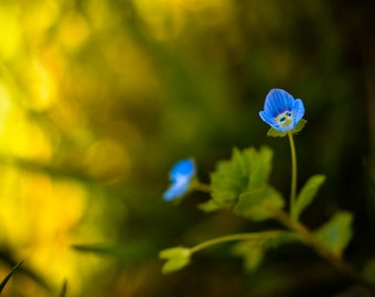 Flower Photography, Blue Flower Picture, Floral Nature Photograph, Living Room Wall Art, Horizontal Wall Art, Fine Art Close Up Photo Print