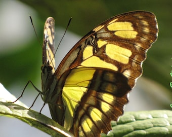 Yellow  Citrus Swallowtail Butterfly Macro Fine Art Photograph Spring Flowers & Butterflies