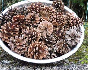 SET of 35 pine cones