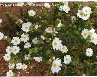 Cistus monspeliensis 'Montpelier Rock Rose' 100+ SEEDS