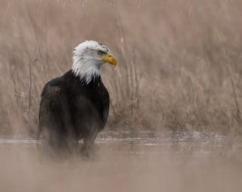Bald Eagle in the Rain - Photo