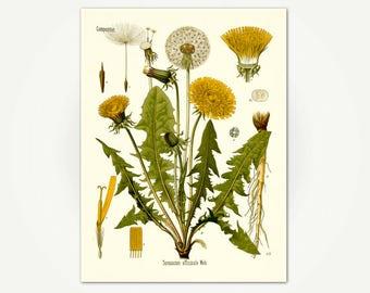 Dandelion Botanical Print from Kohler's Medizinal Pflanzen - Vintage 1800's German Botanical Print