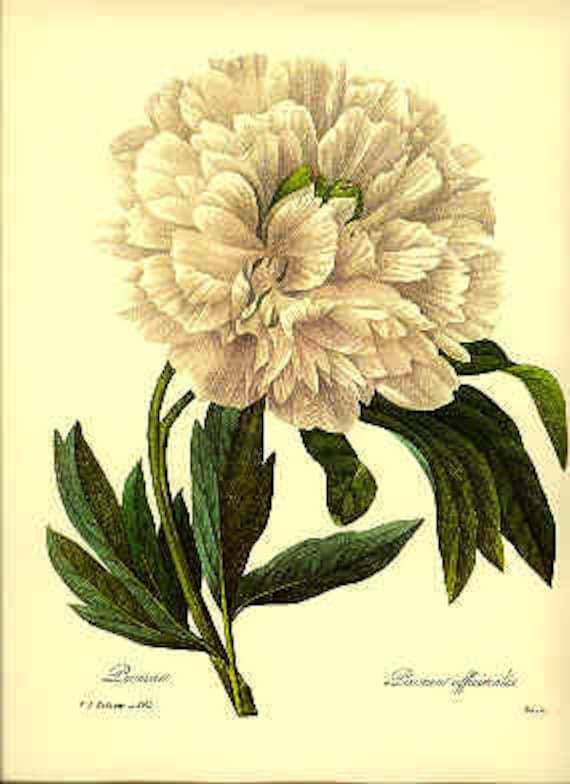 Vintage Peony Illustration Redoute Vintage Botani...