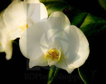 White Orchids   Flower Photo Art   Nature Lover Gift   Fine Art Photography   Personalization   BDPhotoShoppe   Home Office Decor