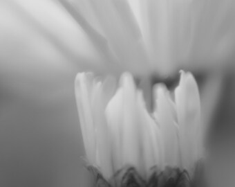 Fine Art Photograph, Flowers, Nature,  Black and White, texture