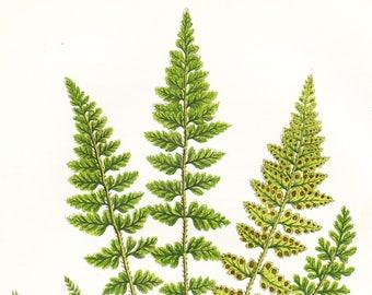 Lanceolate Spleenwort Fern Antique Print . Original Botanical Plant Chromolithograph Vintage Plate Circa 1860 . Plate 295