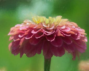 Painterly Pink Zinnia Flower Nature Photograph Digital Download