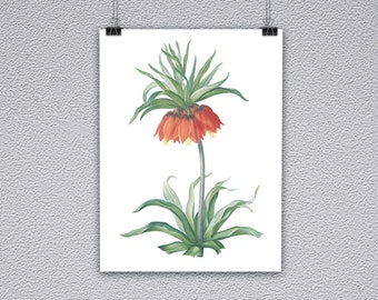 Crown Imperial Botanical Illustration Print