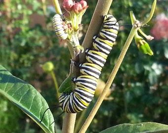 Milkweed Seeds, Butterfly Weed, Asclepias seeds, Monarch butterflies,  gardening, wildflower seeds perennial flower butterfly garden seeds