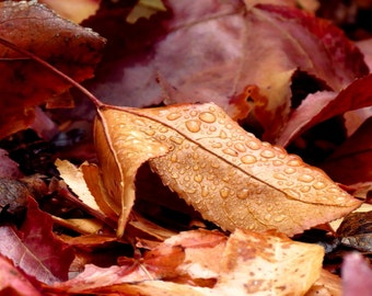After the Storm by Catherine Roché, Nature Photography, Autumn Foliage Photography, Rain Photography, Sycamore Leaves, Raindrops, Fine Art