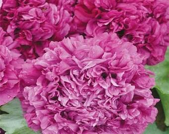 Purple Peony Poppy Flower Seeds/Papaver/Annual   100+