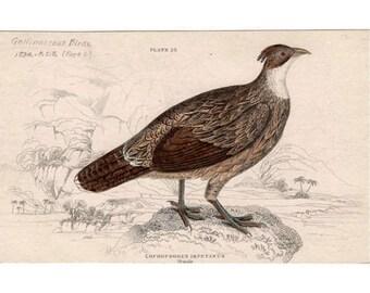 1834 pheasant original antique jardine print game bird - Himalayan Monal Pheasant female