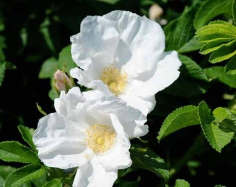 25 Rosa canina Seeds, Dog Rose Seeds alba, White rosa Canina Seeds
