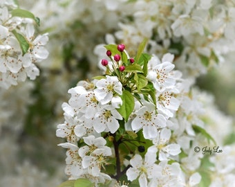 Spring, Spring Flowers, Wall Art, White Blooms, Pear Tree Blossoms, Home Decor, Floral, Fine Art