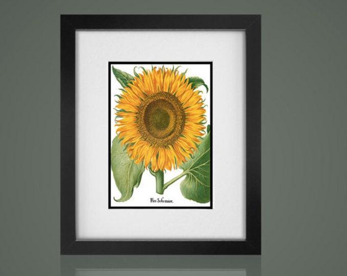 SUNFLOWER BOTANICAL PRINT -Free Shipping - Matted And Framed botanical Print, Gallery Wall Art, Framed Antique Print, Black Or  White Frames
