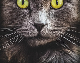 Green Cat Eyes -Cat Art -Long Haired Gray Cat Face & Whiskers Closeup -Fine Art Photography Print -Home Decor Wall Art -Veterinary Wall Deco