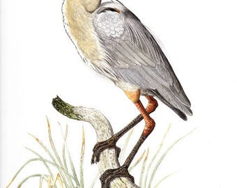 """Great Blue Heron Watercolor Nature Painting Illustration Fine Art Print 10"""" X 12"""" - Limited Edition, Signed by Artist"""