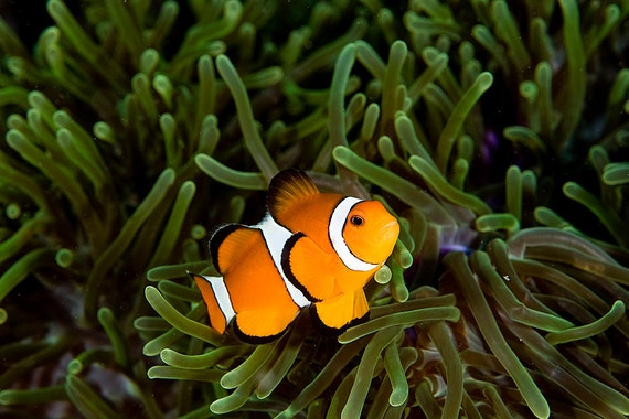 Underwater photography fish art - Clownfish with Sea Anemone print - great for decorating Beach Home