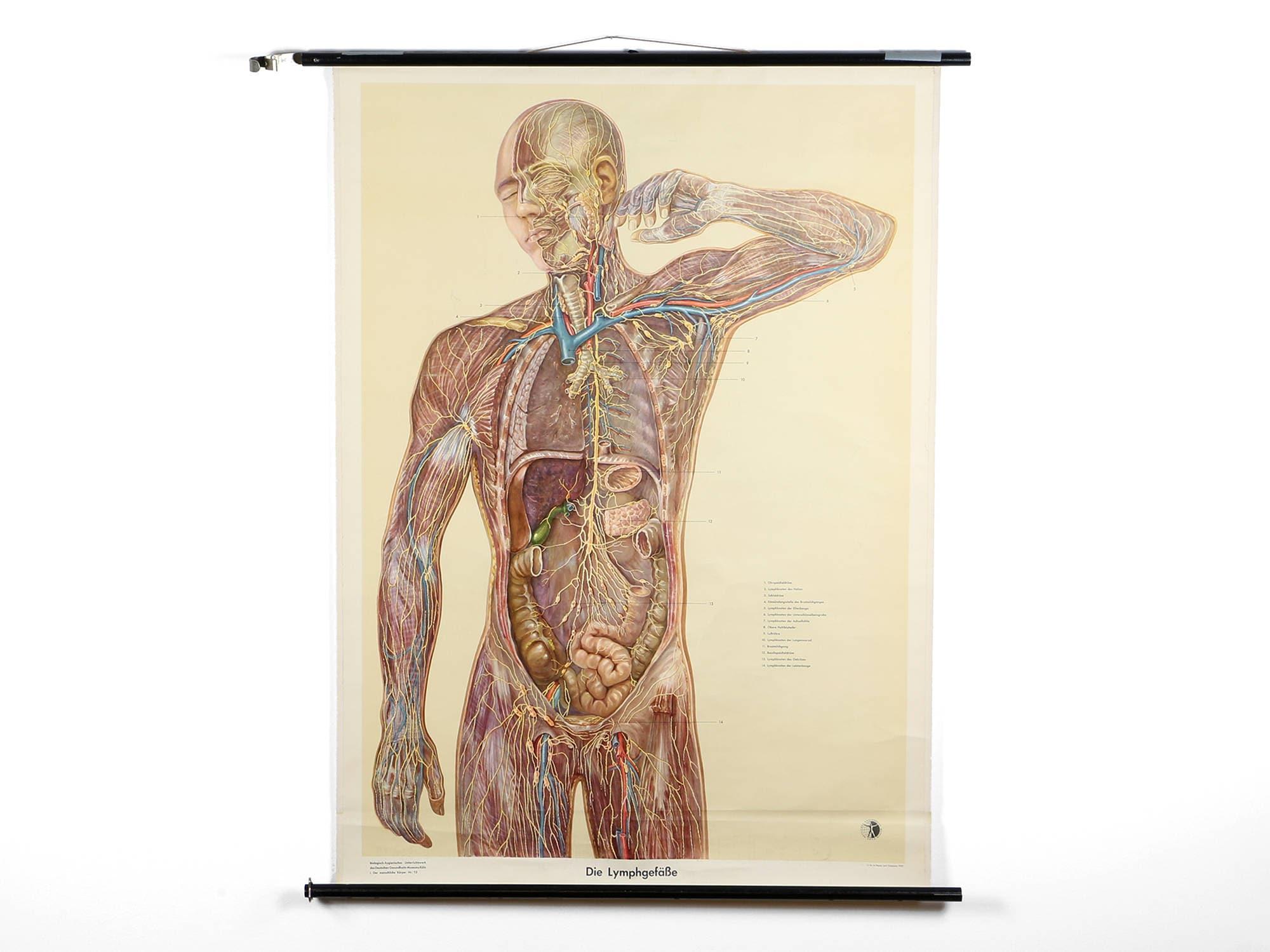 Anatomische Lehrtafel Schulwandkarte Rolltafel anatomische