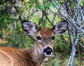 """8 x 10"""" deer print"""