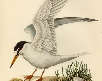 Vintage lithograph of the little tern from 1953