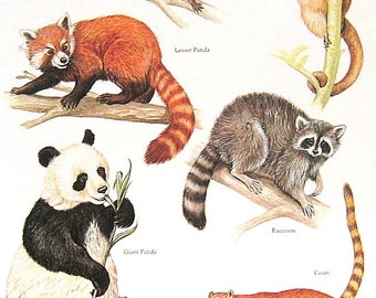 Racoons and Pandas Vintage 1984 Animals Book Plate