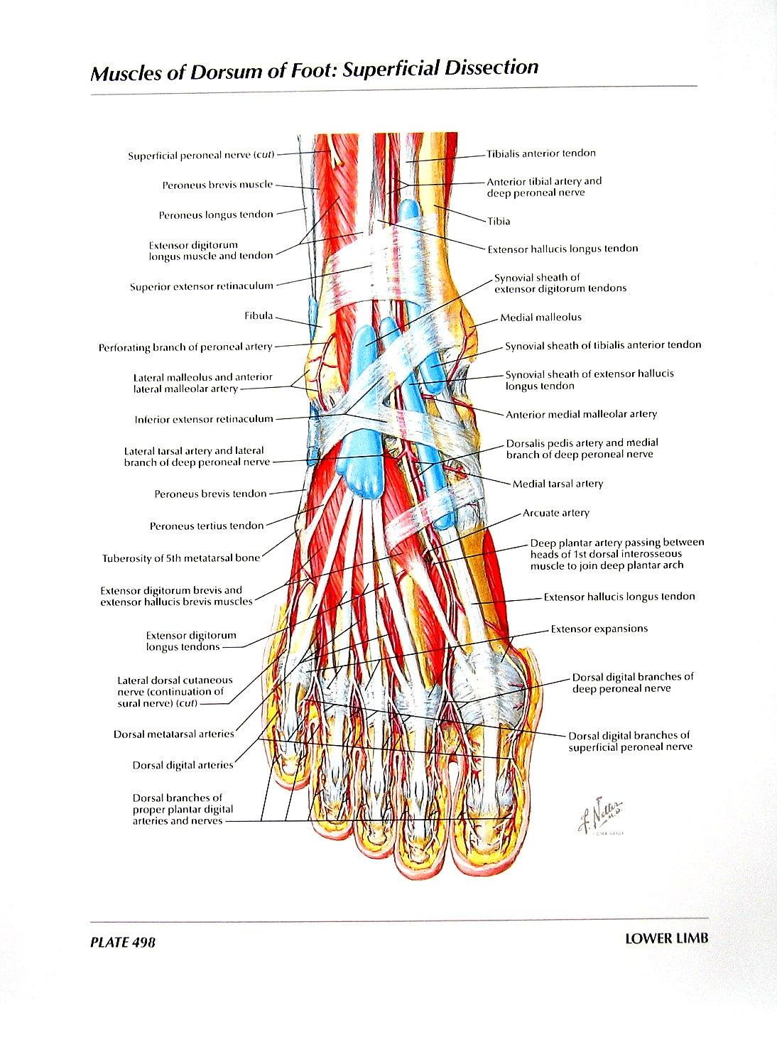 Fantastisch Knöchel Anatomie Muskeln Bilder - Menschliche Anatomie ...