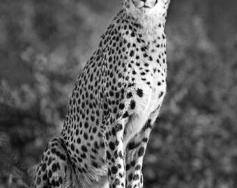 Cheetah Print Art - Cheetah Photo Print - Animal Wall Art - Cheetah Art - Black and White Fine Art Photograph