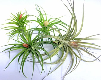 Air Plant In Bloom Collection Quantity of 10 Individual Plants