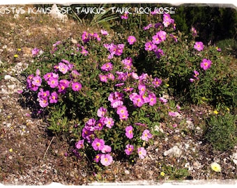 Cistus creticus 'Cretan Rockrose' 100+ SEEDS