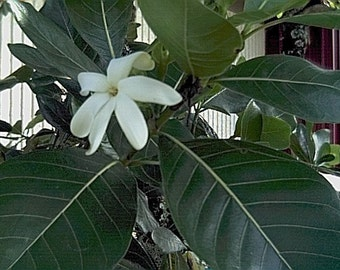 Tahitian Gardenia (Tiare) seeds (20) - gardenia taitensis