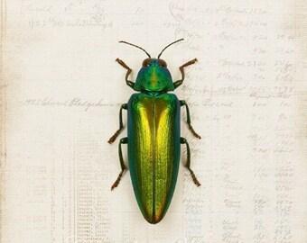 5x7 Emerald Beetle