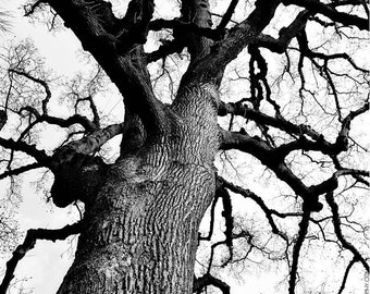 Leafless Tree in Winter 5x7 Nature Art Photo - Wintertime Tulip Poplar - Black and White Nature Photography - Stark Tree Branches - Woodland