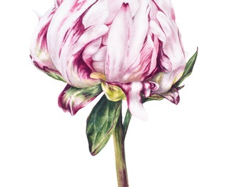 Flower Art Print, Single Peony, Large archival botanical print, Watercolor print, Botanical art, Peony print