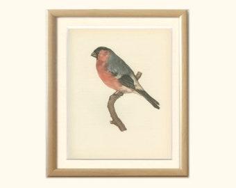 Bullfinch, Plum-bird, Bud-bird, Plum-picker, 8 x 10, Book Page DEM/1959/63, Ornithology, Frameable Vintage Bird Print