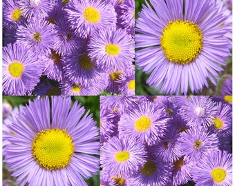 Fleabane Daisy - Erigeron Speciosus Flower Seeds - Aspen Fleabane - BLOOMS JUNE To OCTOBER, Choose From 800 or 12,000