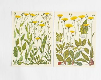 Botanical Drawings - two vintage yellow flower illustrations - old botanical prints of flowers in yellows