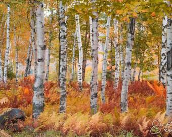 White Birches in Fall Print