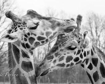 Photograph of a couple of giraffes