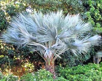 Brahea Sp. Super Silver Palm 10 seeds