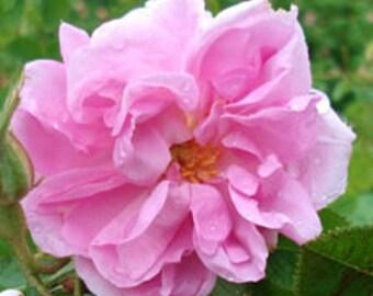 Rose (Bulgarian) 3% essential oil blend