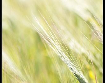 Barley Photographic Fine Art Print