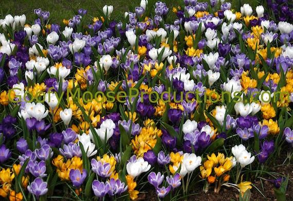 Flowers Photo Instant Download - Purple, Yellow and White Flowers Art Photography - Netherlands Keukenhof Travel Photography