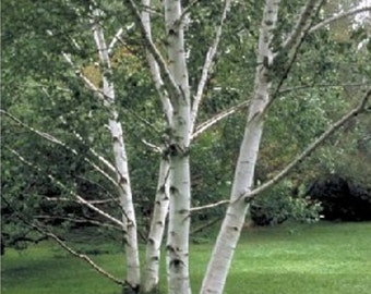 Paper Birch Tree Seeds, Betula papyrifera - 25 Seeds